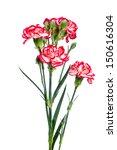beautiful pink carnations... | Shutterstock . vector #150616304