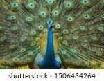 Peacock Displaying Vibrant...