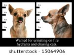 a mugshot of a chihuahua - stock photo