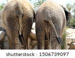 Two Back Elephants Showing...