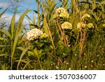 Bushes of a white hortensia (hydrangea) growing on a meadow, together with other plants. Golden hour light. Sao Miguel, Azores Islands, Portugal.