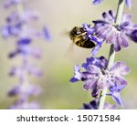 Bee On A Russian Sage