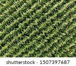 Corn Field Of Green Corn Stalks ...