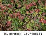 Autumn Blackberries On A...