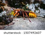 Big Hornet Is On The Stone....