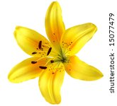 Single Yellow Lily Flower Head  ...