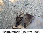 closeup of common eland  also...   Shutterstock . vector #1507958504
