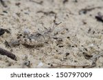 Small photo of This is a Arphia grasshopper nymph blending in with sand