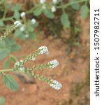 Small photo of Close up of heliotropium indicum flowering plant commonly called Indian heliotrope