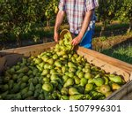 Pear Harvest  Conference  In...