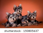 Stock photo dog cute 150805637