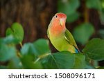 Rosy Faced Lovebird Perches On...