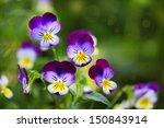 Tricolor Pansy Flower Plant...