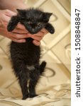 Stock photo black fluffy kitten in hands 1508848847