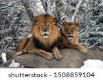 Male And Female Lions In The...