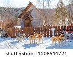Siberian Husky For Dogs...