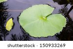 Lotus Leaf On Water