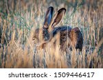 Stock photo wild hare sitting in the grass 1509446417