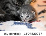 Stock photo grey tabby kitten lying on baby blanket 1509520787