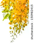 Cassia Fistula Flower With...