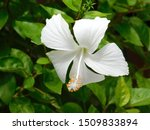 White  Hibiscus Flower Or...