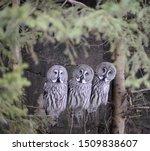 Three Great Grey Owls On A...
