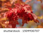 Red Autumn Viburnum  Guelder...