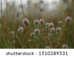 Stock photo autumn field with trifolium arvense flowers hare s foot clover rabbitfoot stone and oldfield 1510289531