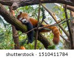 A Red Panda Is Lying On The...
