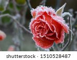 Rose Blossom In Autumn After A...