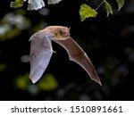 Flying Pipistrelle Bat ...