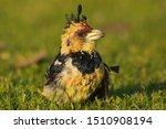 Crested Barbet  Trachyphonus...