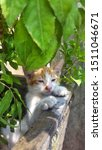 Stock photo cute baby kitten sitting in a tree pot cute kitten brown white hairs color indonesian domestic 1511046671