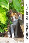 Stock photo cute baby kitten sitting in a tree pot cute kitten brown white hairs color indonesian domestic 1511046674