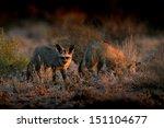 bat eared fox pair foraging | Shutterstock . vector #151104677