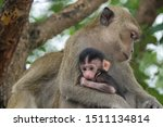 Mother Monkeys Take Care Of...