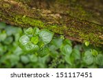 Small photo of Peperomia accrete old red brick with moss.