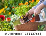 Gardeners Hand Planting Flowers Pot - Fine Art prints