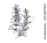 rosemary. illustration of... | Shutterstock .eps vector #1511807837