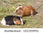two guinea pigs  cavia... | Shutterstock . vector #151193951