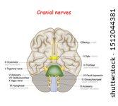 cranial nerves. human brain and ... | Shutterstock .eps vector #1512044381