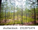 Pine Forest At Da Lat City ...