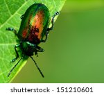 Dogbane Beetle Perched On A...