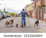 Stock photo professional dog walker or pet sitter walking a pack of cute different breed and rescue dogs on 1512262844