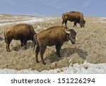 A herd of 1300 bison roam Custer State Park in the Black Hills of South Dakota in the southwestern corner of the state. Here one keeps watch while the others graze.