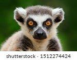 Lemur Face  Close Up Portrait...