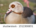 Egyptian Goose  In German...