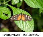 Golden Helicon Butterfly On A...