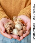 Man holding different types of flower bulbs in his hands: (tulips and daffodils +). Autumn gardening. - stock photo