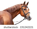 Stock photo  russian don horse isolated on white background 151242221